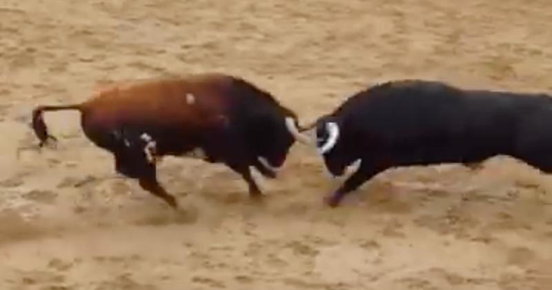 Dos toros murieron al chocar de frente