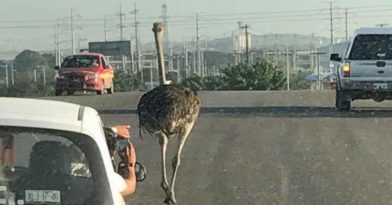 Captan a un avestruz paseando por las calles de Tamaulipas