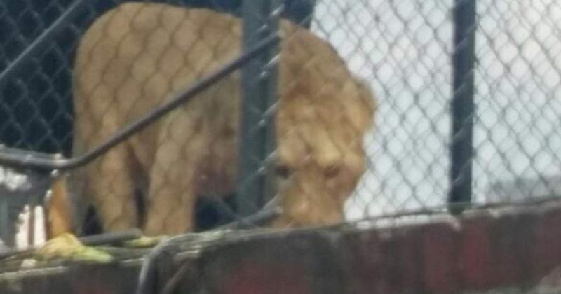 Rescatan a león enjaulado en azotea en la Merced Balbuena