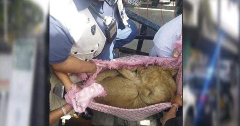 Cachorro de león, rescatado de azotea en la Ciudad de México