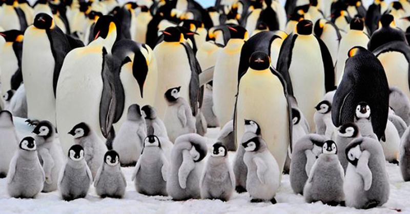 Descubren la colonia más grande de pingüinos de la Antártida