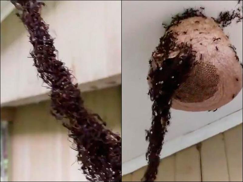 Hormigas crean impresionante puente para atacar panal de avispas