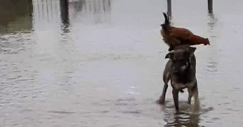 El perro que salvó a una gallina de morir ahogada — Foto viral