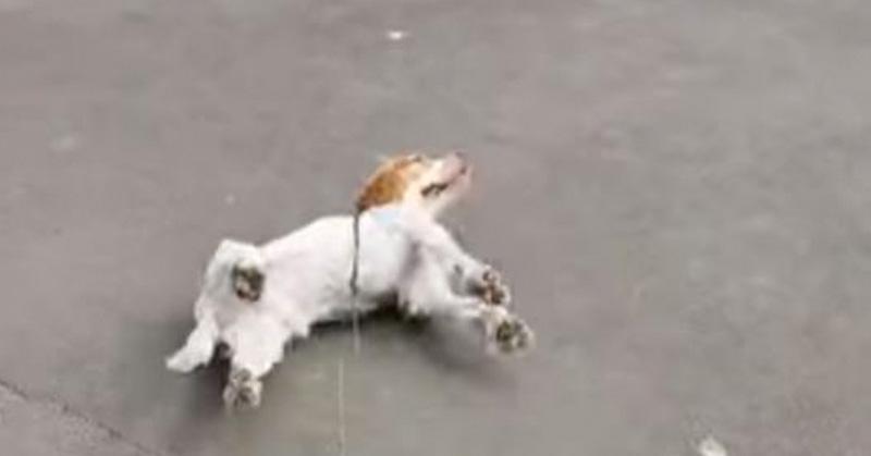 El miedo lleva a un perro a perder el control y desmayarse